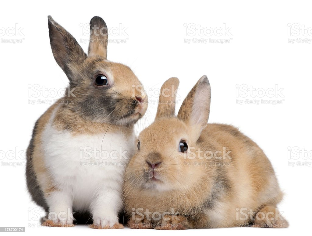 Portrait of European Rabbits, Oryctolagus cuniculus, sitting. stock photo