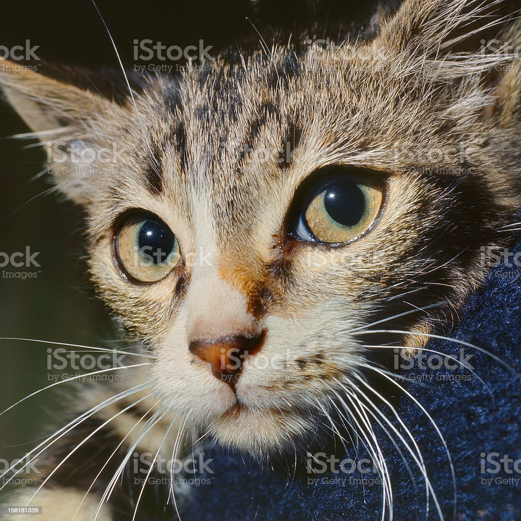 Portrait of european shorthair cat stock photo