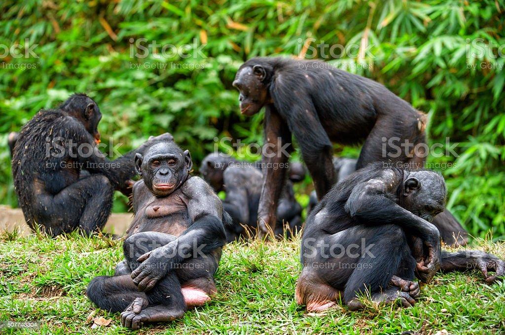 Portrait of family of Chimpanzee bonobo stock photo
