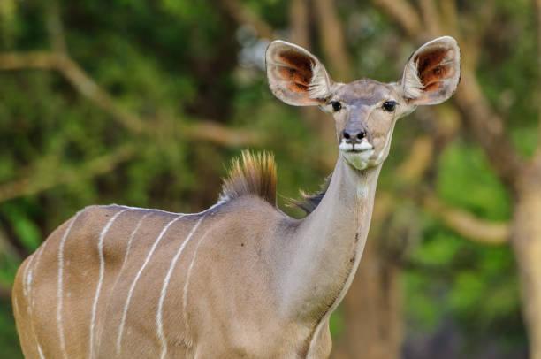 Portrait of Female Kudu Antelope stock photo