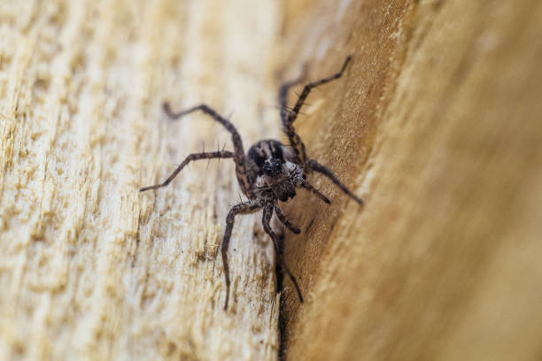 Portrait of Fiddleback spider, Violin spider or Brown hermit spider (Loxosceles reclusa). Poisonous arthropod on a wooden surface. View from the top. Wildlife with selective focus. stock photo
