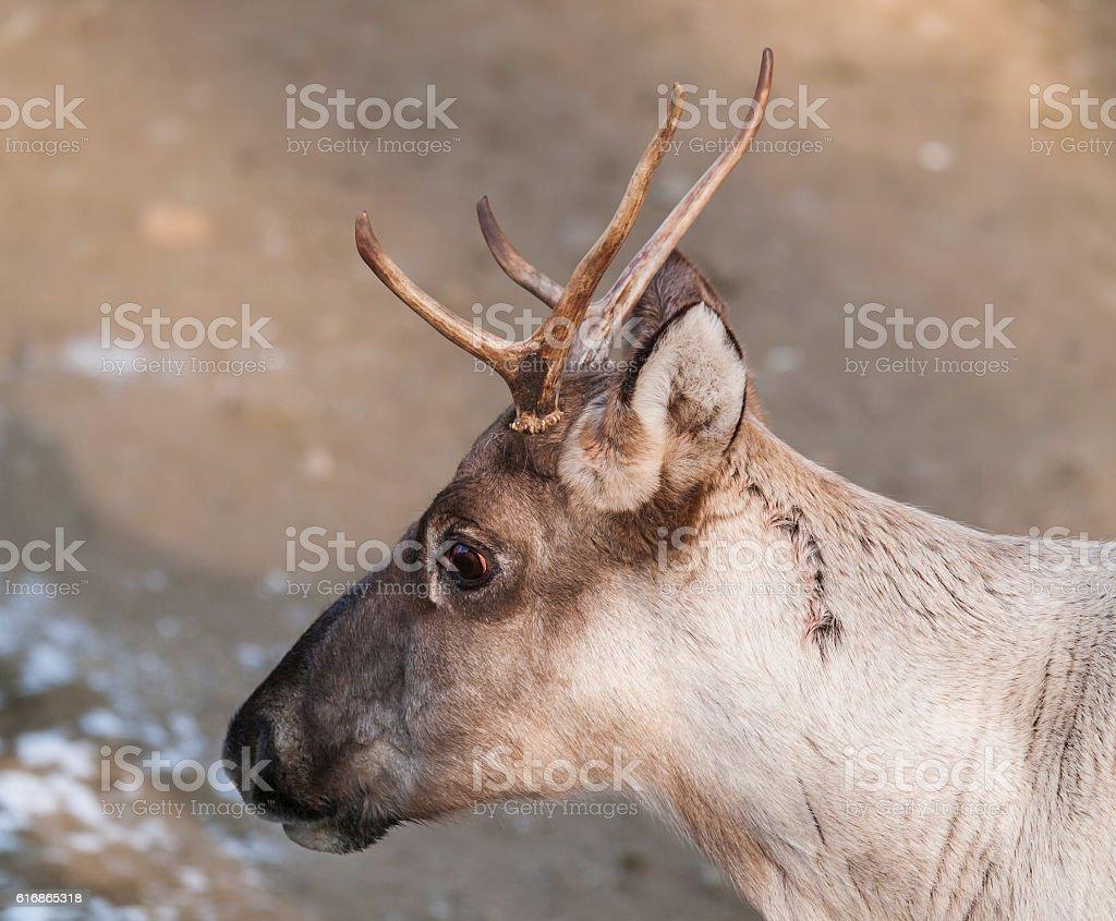 Portrait of Finnish forest reindeer - Rangifer tarandus fennicus stock photo