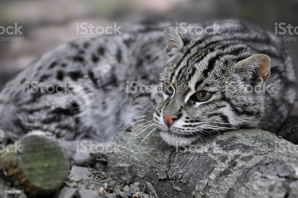 Portrait of  fishing cat royalty-free stock photo