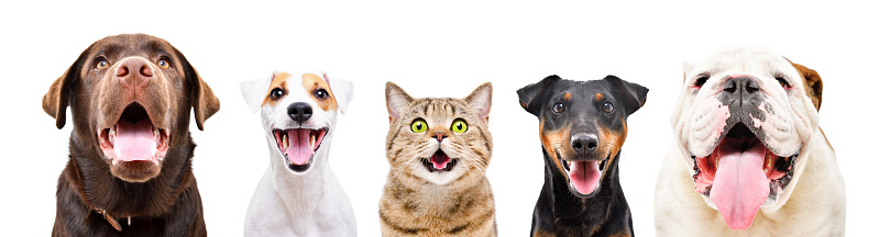 Portrait of five cute funny pets, closeup, isolated on a white background