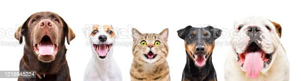 Portrait of five cute funny pets closeup isolated on a white picture id1215945224?b=1&k=6&m=1215945224&s=612x612&h=5eqpnaamjz2inwjt78bvbys4lcq2xmcp vsvoarcrt0=