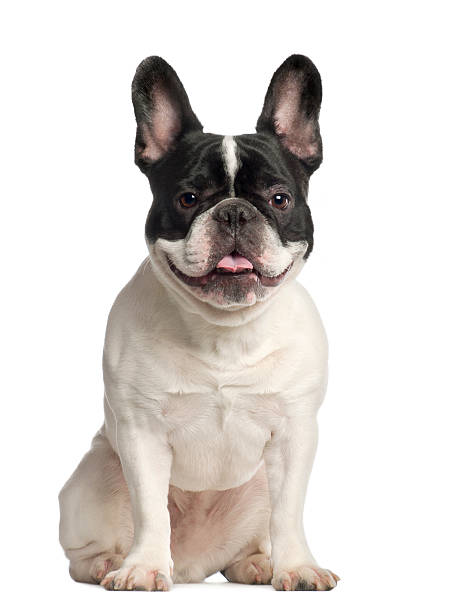 Portrait of French Bulldog, 2 years old, sitting Portrait of French Bulldog, 2 years old, sitting in front of white background french bulldog stock pictures, royalty-free photos & images