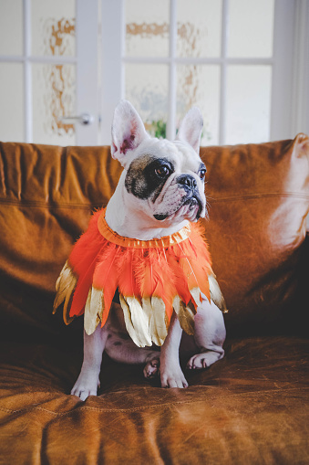 Portrait Cute fashionable Frenchie dog wearing orange feather bandana