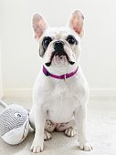 Portrait of French Bulldog with her toy shark