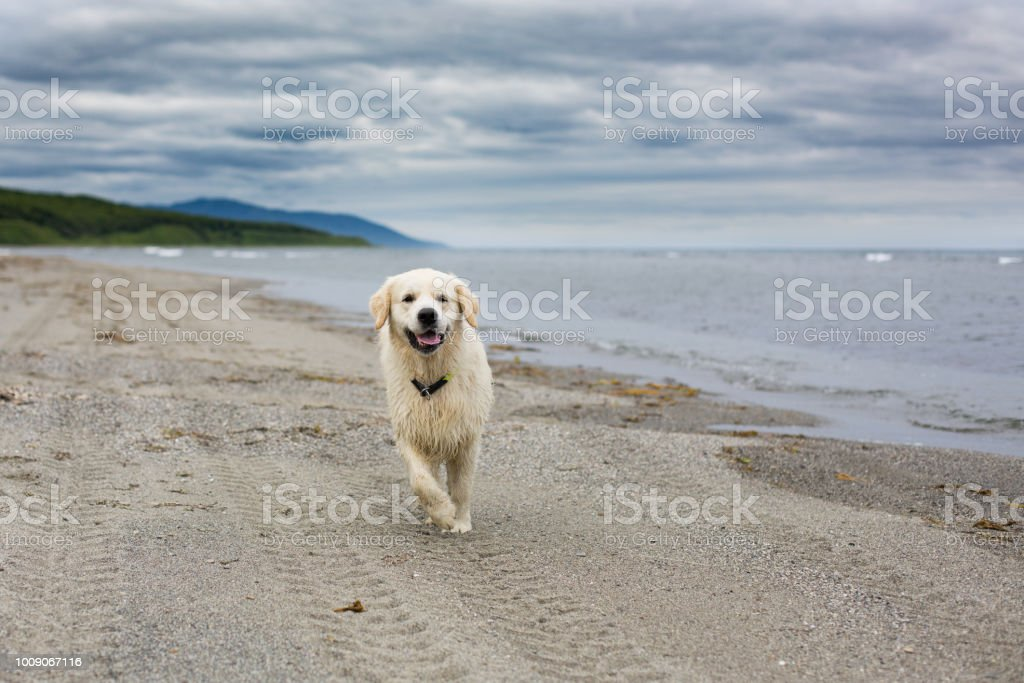 Portrait of funny and cute golden retriever dog running on the beach stock photo