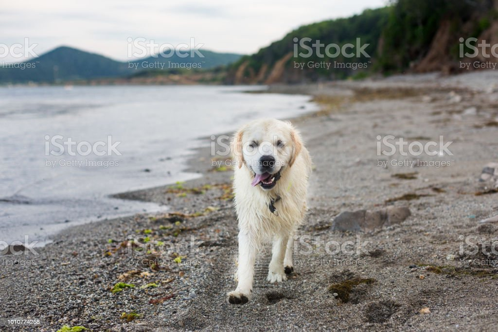 Portrait of funny and Excited golden retriever dog running on the beach stock photo