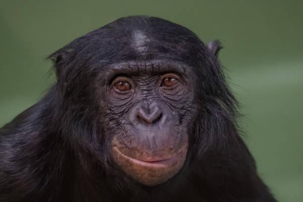 Porträt von lustig und lächelnd Bonobo, Nahaufnahme – Foto
