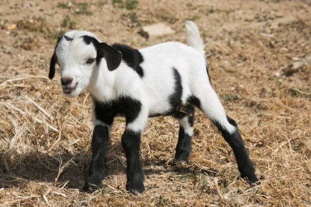 Portrait of funny baby goat with out tongue stock photo