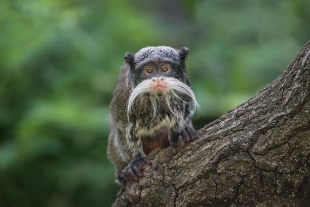 Porträt von lustigen bärtigen Kaiser Tamarin Affe aus Brasilien-Dschungel – Foto