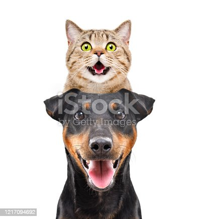 533229488 istock photo Portrait of funny cat Scottish Straight on the head dog breed Jagdterrier isolated on white background 1217094692