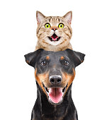 istock Portrait of funny cat Scottish Straight on the head dog breed Jagdterrier isolated on white background 1217094692