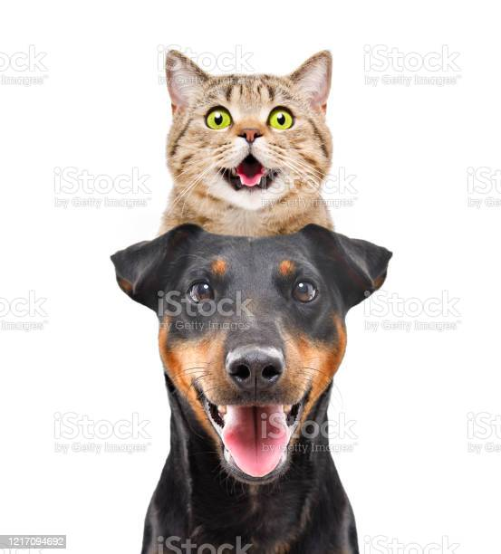 Portrait of funny cat scottish straight on the head dog breed on picture id1217094692?b=1&k=6&m=1217094692&s=612x612&h=n5fgo2nspihdjwsi9dtec4bplloxjso5owiqiwqngbo=