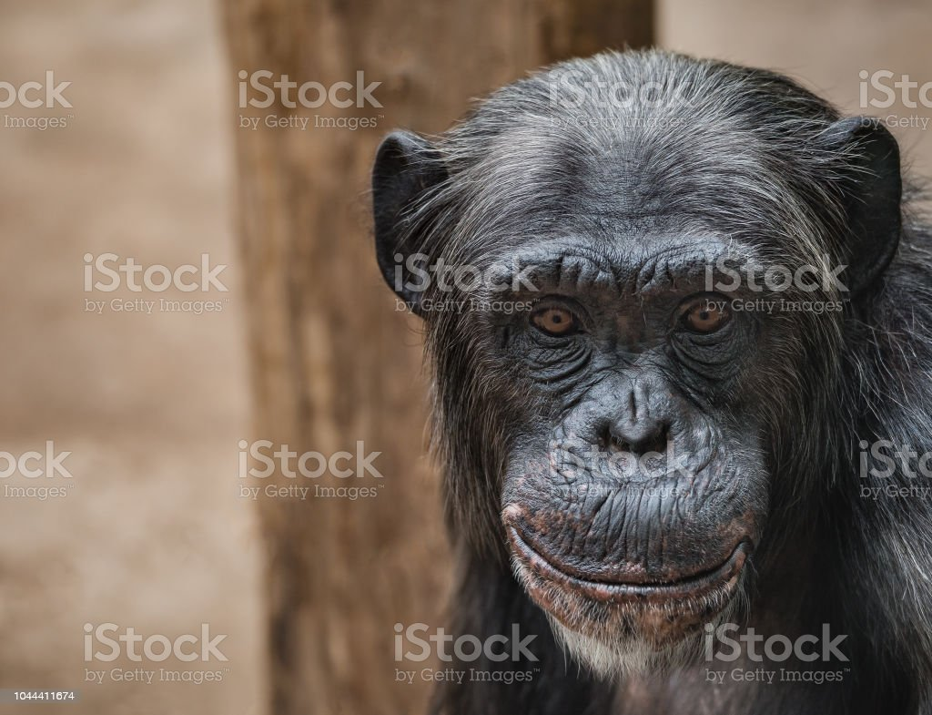 Portrait Of Funny Chimpanzee With A Smugly Smile At Smooth