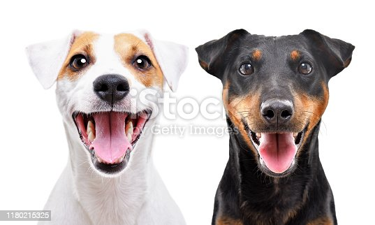533229488 istock photo Portrait of funny dog breed Jack Russell Terrier and Jagdterrier isolated on white background 1180215325