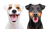 istock Portrait of funny dog breed Jack Russell Terrier and Jagdterrier isolated on white background 1180215325