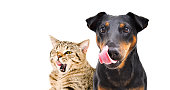 Portrait of funny dog breed Jagdterrier and cheerful cat Scottish Straight licks isolated on white background
