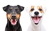 istock Portrait of funny dog breed Jagdterrier and Jack Russell Terrier isolated on white background 1154370766