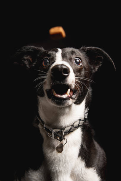 Portrait of Funny dog catching treat stock photo