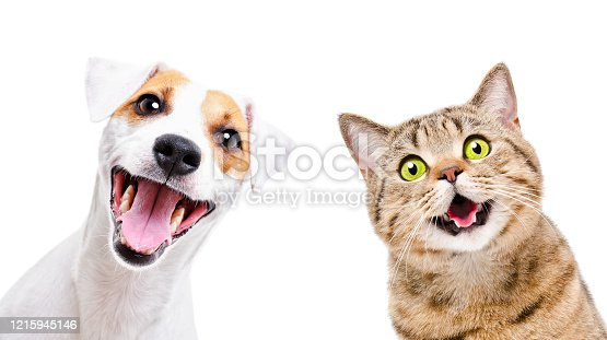 Portrait of  funny dog Jack Russell Terrier and cheerful cat Scottish Straight isolated on white backgroun