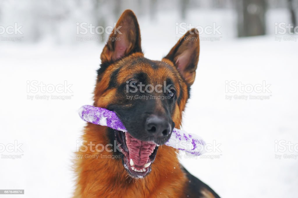 Portrait Of Funny German Shepherd Dog Holding Puller Ring Toy Stock