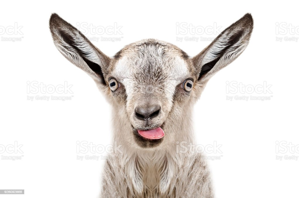 Portrait of funny gray goatling showing tongue stock photo