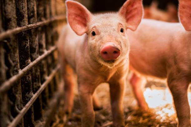 portrait of funny looking piglet - maialino foto e immagini stock