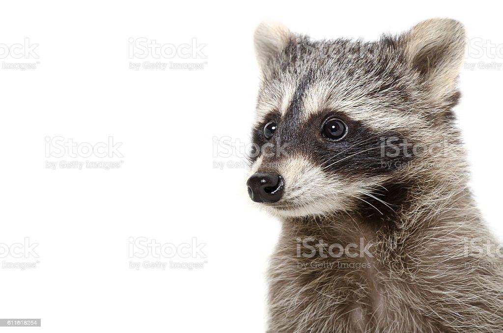 Portrait of funny raccoon stock photo