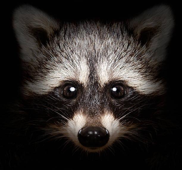 portrait of funny raccoon - Photo