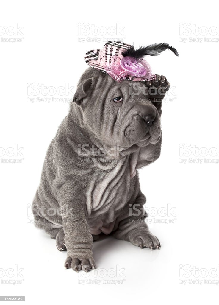 Portrait of funny sharpei puppy dog royalty-free stock photo