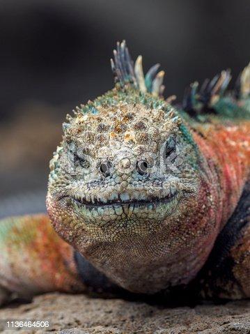The marine iguana (Amblyrhynchus cristatus), also known as the sea iguana, saltwater iguana, or Galápagos marine iguana - a species of iguana found only on the Galápagos Islands (Ecuador). The image taken on Floreana island (Isla Floreana).