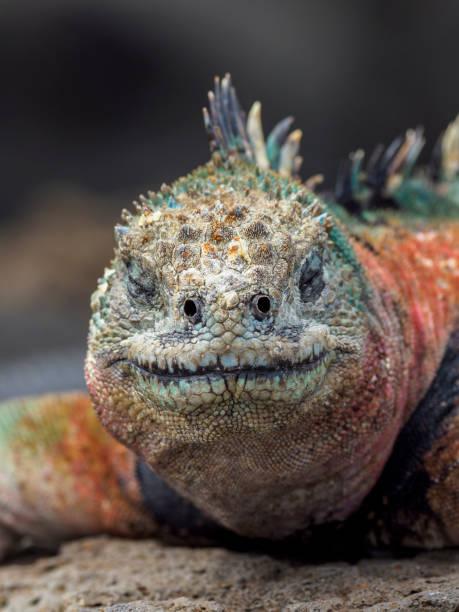 Porträt von Galapagos Marine Iguana – Foto