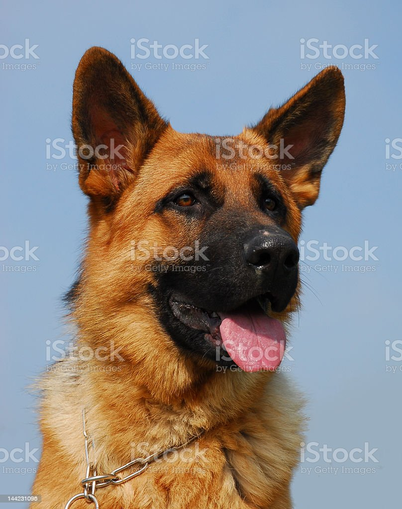 portrait of german shephed royalty-free stock photo