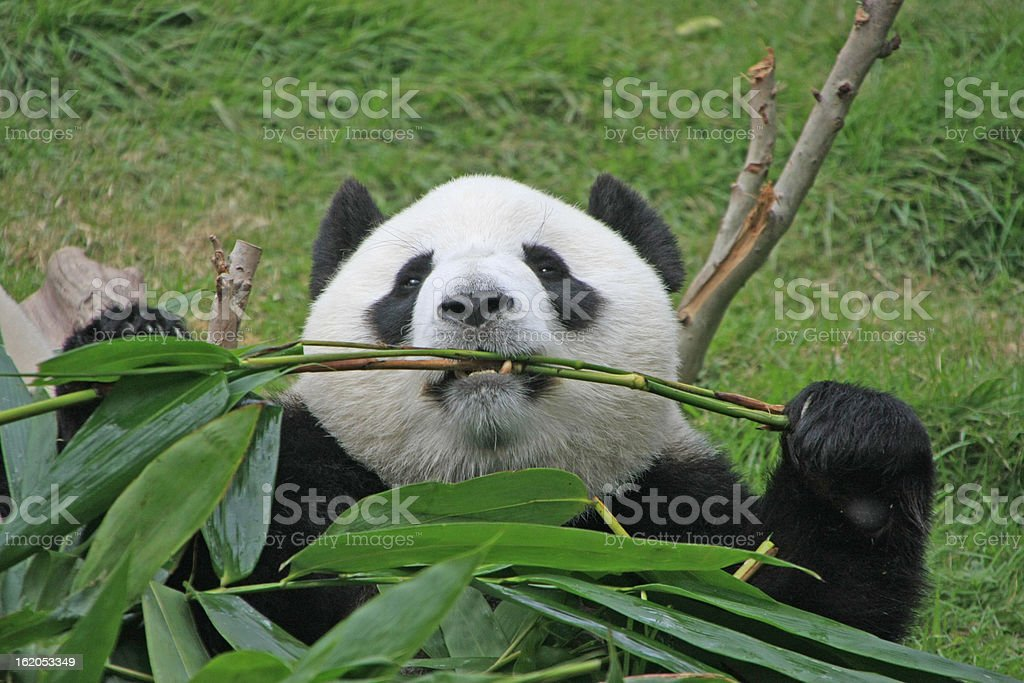Portrait of giant panda bear (Ailuropoda Melanoleuca) eating bamboo, China royalty-free stock photo