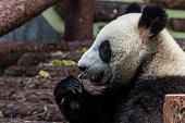 cute baby panda sleeping in a tree.