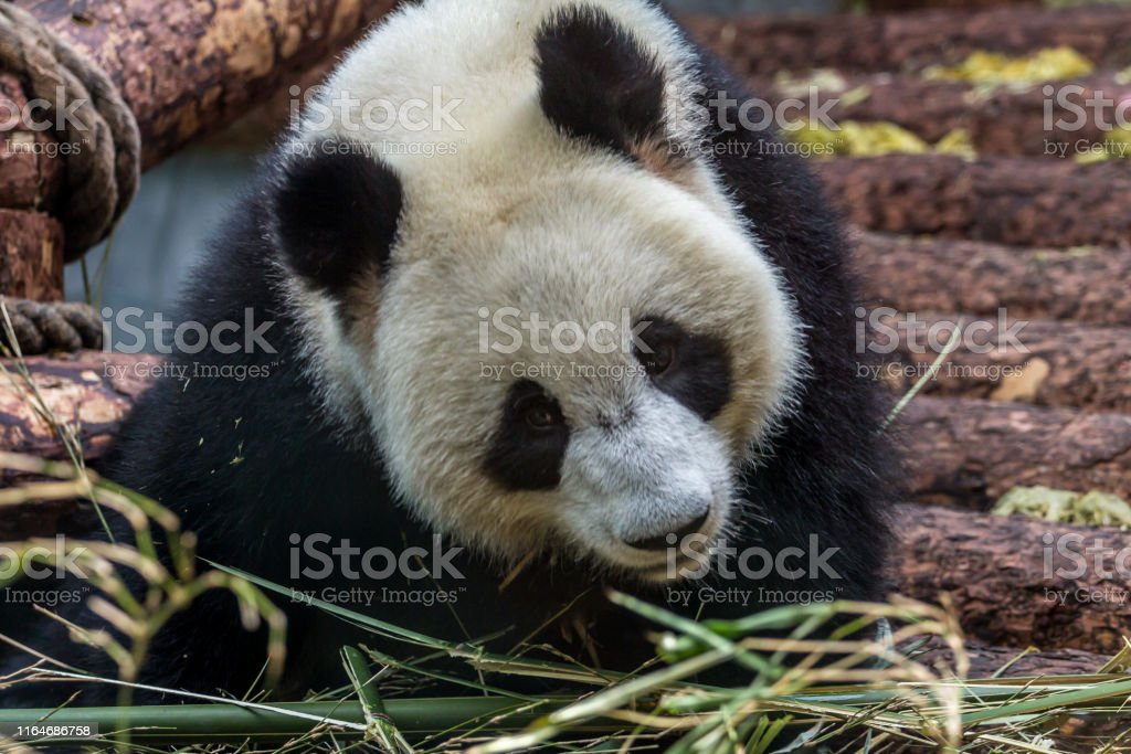 Portrait of giant panda eating bamboo, side view. Cute animals of...