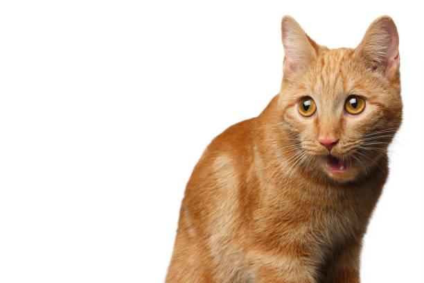 Portrait of ginger cat on isolated white background picture id641711024?b=1&k=6&m=641711024&s=612x612&w=0&h=pyckku8fiftelhgp0pdb1unuvuonyrfvge7jxzoiypw=
