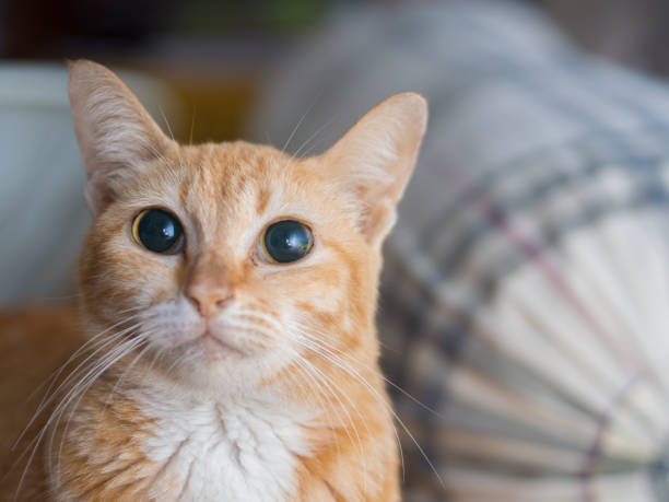 Portrait of Ginger Cat stock photo