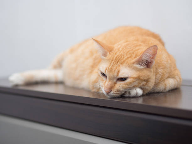 Portrait of Ginger Cat Sleep stock photo