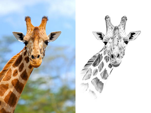Portrait of giraffe before and after drawn by hand in pencil picture id812647670?b=1&k=6&m=812647670&s=612x612&w=0&h=uk4xzypev0bcxsgfcvsxlb1o1hovdpn5h2m0vcdwraa=