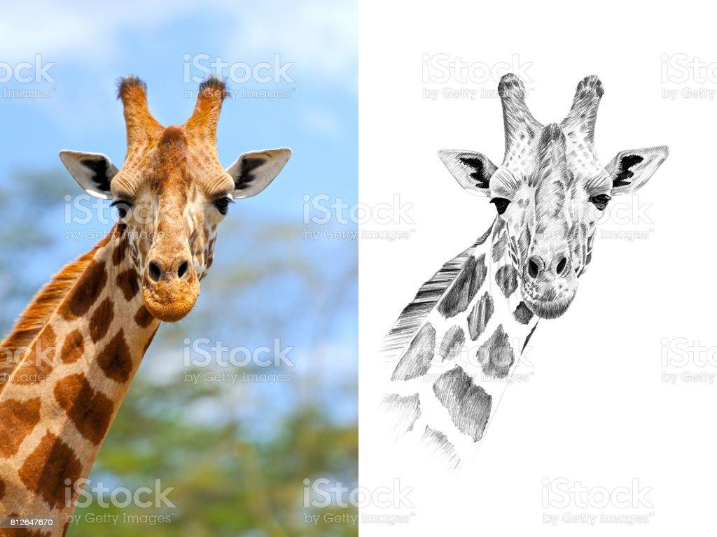 Retrato de jirafa antes y después de dibujado a mano en lápiz - foto de stock