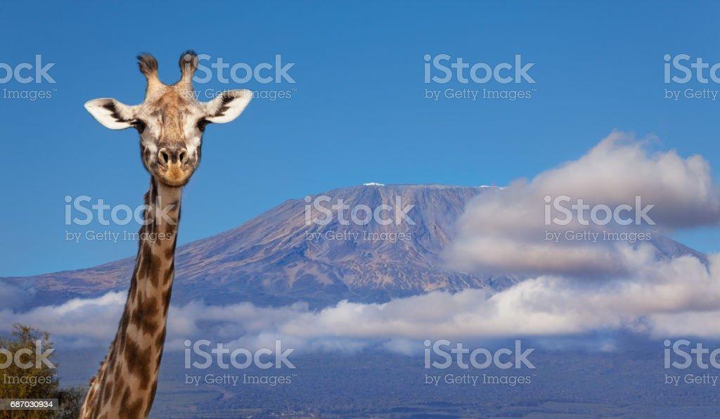 Portrait of giraffe head against Kilimanjaro mount stock photo