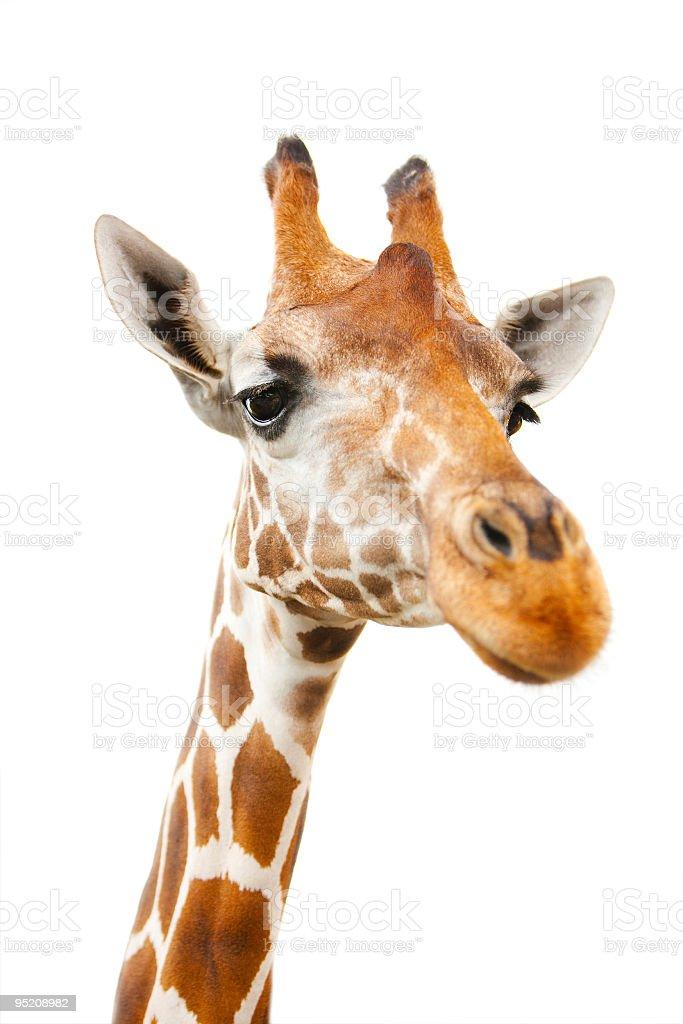 Portrait of giraffe stock photo