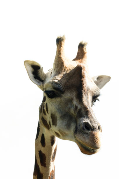 portrait of giraffe with bright white background - white space stock photo