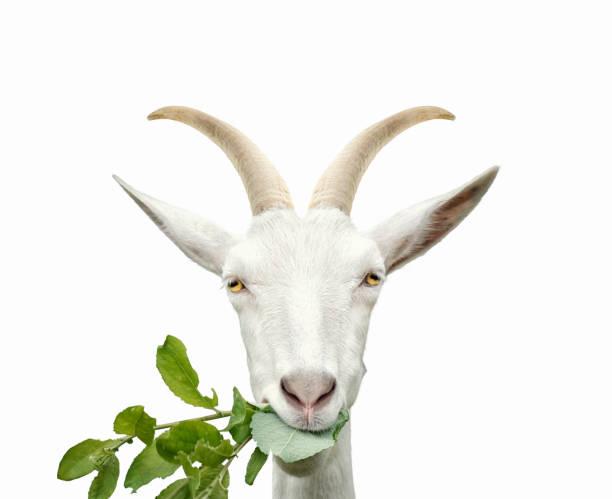 portrait of goat eats grass. isolated on white - comportamento animal imagens e fotografias de stock
