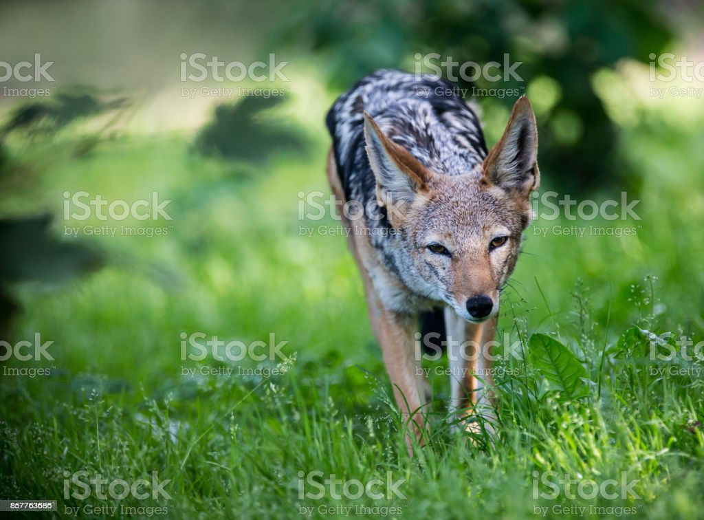 Portrait Of Golden Jackal Hunting Stock Photo More Pictures Of 20