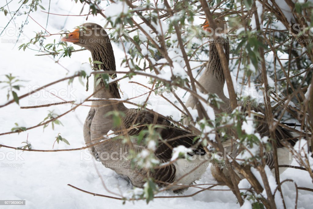 portrait of goose hiding under tree not used to cold temperatures in snowy winter in southern france - Royalty-free 2018 Stock Photo